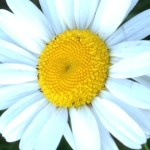 close up of a single white daisy