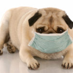 pug wearing a medical mask